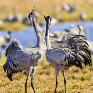 eurasian crane at hornborgasjön